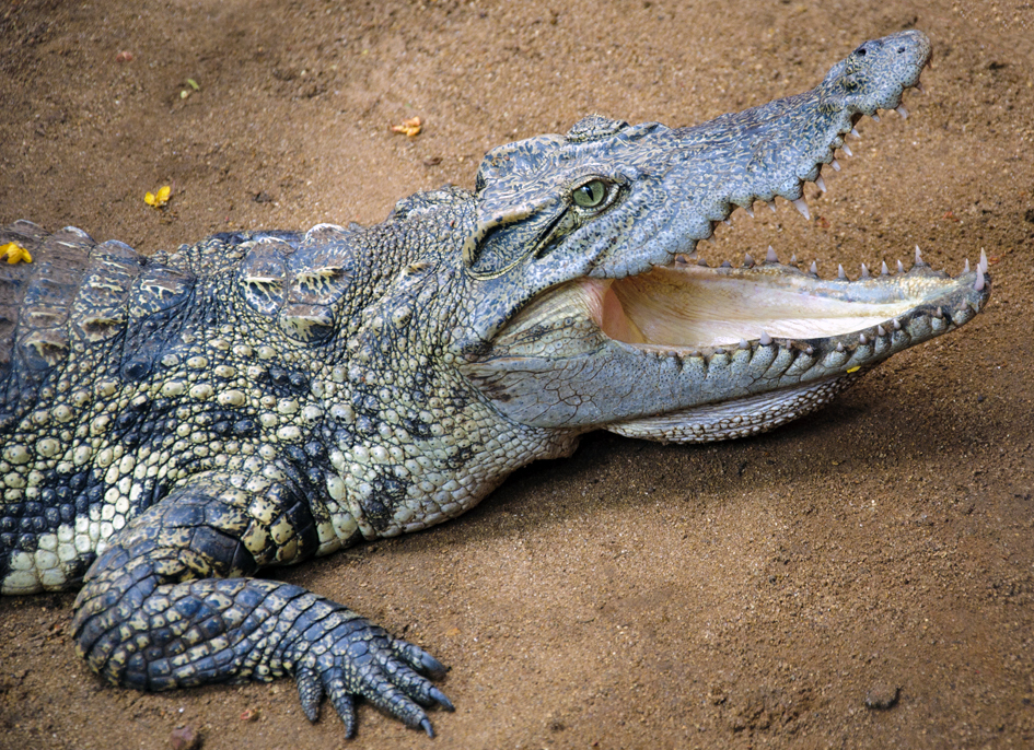 crocodiles can climb trees study finds pbs newshour