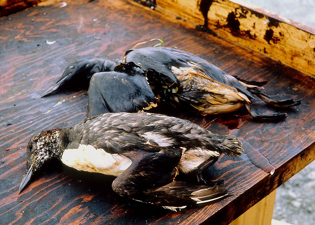 Hundreds of thousands of birds were affected by the oil spill, and several thousand were killed. Photo by Exxon Valdez Oil Spill Trustee Council