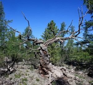 An ancient Siberian pine in Khorgo lava field in central Mongolia was discovered in 2010. This long dead tree is similar to those researchers used to dissect a millennium's worth of  tree-ring records. Image courtesy of Neil Pederson.