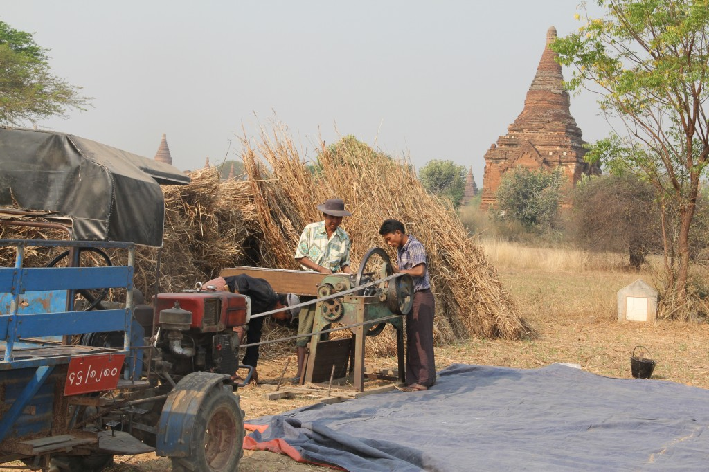 Villagers who formerly lived in the archeology zone of Bagan were moved by the government to a nearby town, in another effort to preserve the historic site.  Farmers, however, still harvest their crops in the fields that surround the pagodas. Photo by Mary Jo Brooks/PBS NewsHour