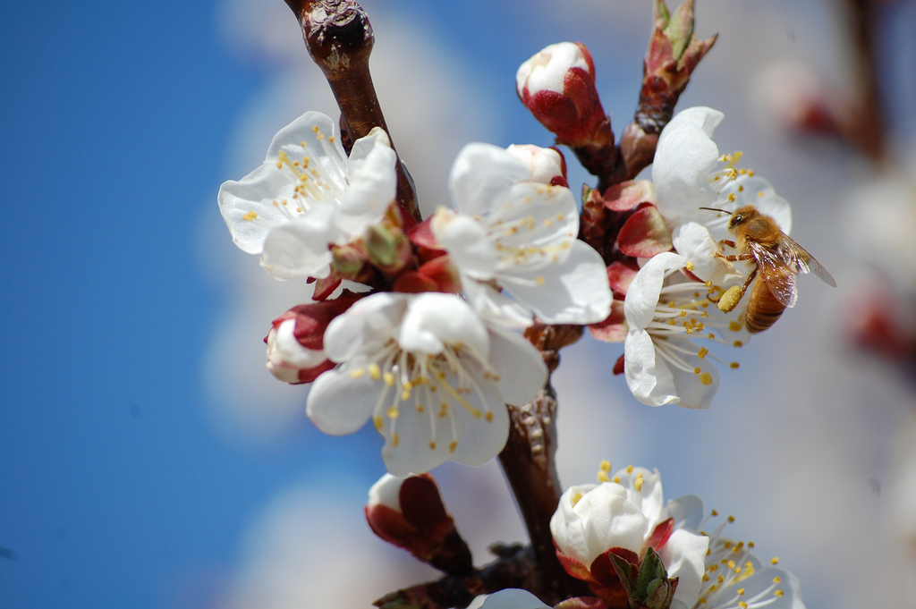 A honey bee pollinates an apricot tree. Photo by Flickr user turnbud