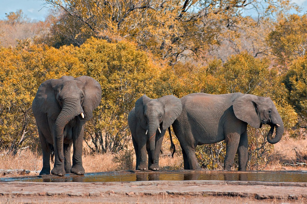 African elephants (loxodonta africana) in Kruger National Park, South Africa.