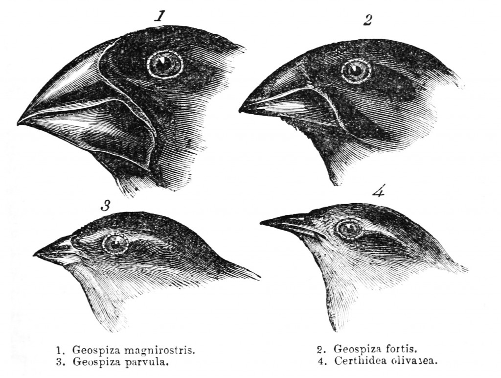 "Charles Darwin collected several species of finches on his voyage to the Galapagos Islands. This drawing came to be referred to as ""Darwin's finches."" Their beaks vary in shape and size, adapted to best capture the food each bird eats. Illustration taken from Darwin's ""Voyage of the Beagle,"" 1839"