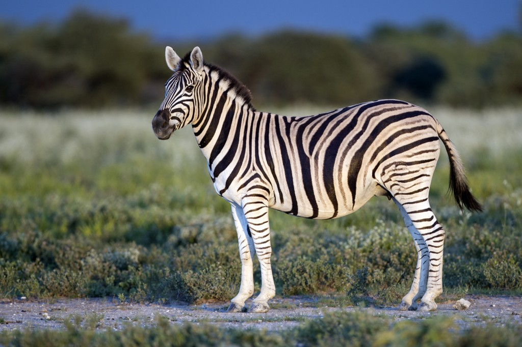 Zebras take prize for longest terrestrial large mammal ...