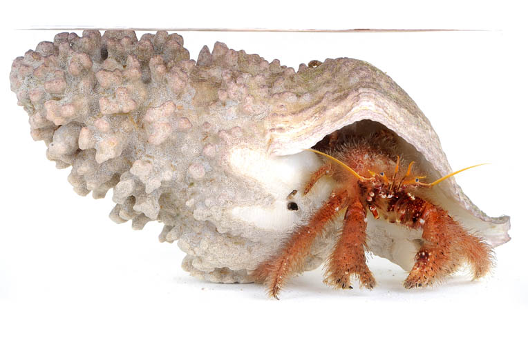 The furry hermit crab is very common on Newport Beach in California. Photo by Kent Treptow