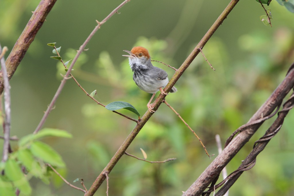The Cambodian Tailorbird (Orthotomus chaktomuk). Photo by James Eaton / Birdtour Asia