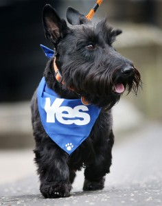 """A dog wearing a pro-independence """"yes"""" bandana is walked on a street in Glasgow, Scotland on Thursday. Scots began voting at 7 a.m. on whether to become an independent country. Photo by Ian MacNicol/AFP/Getty Images"""