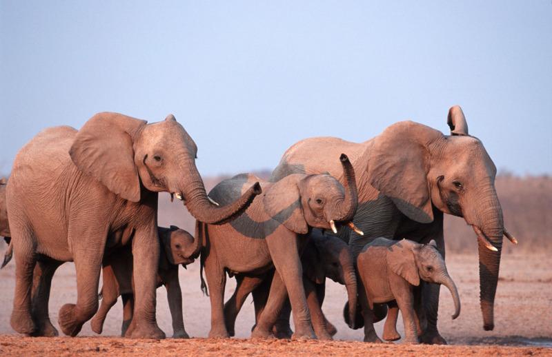 A family of African elephants, Loxodonta africana, in Etosha National park, Namibia. Photo by © Martin Harvey/WWF-Canon