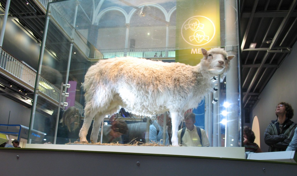 Dolly the cloned sheep at her permanent home in the National Museum of Scotland in Edinburgh. Image by Flickr user hapticflapjack