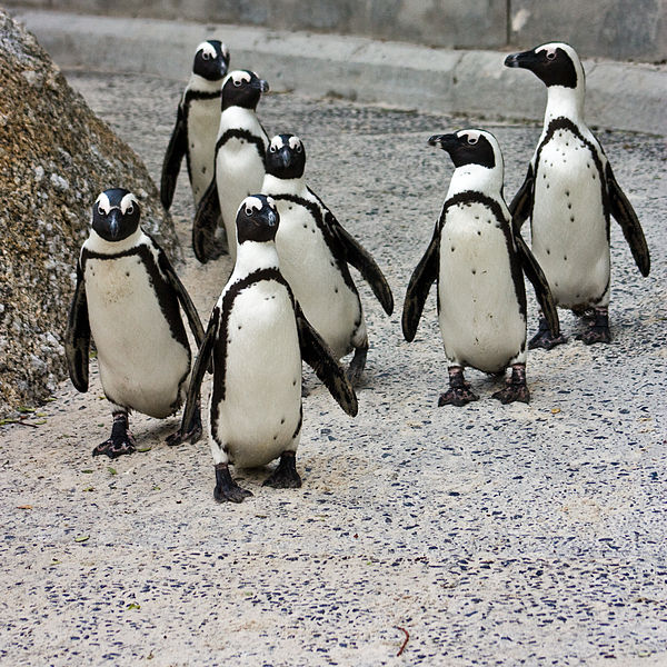11b186affcf Hand-rearing abandoned African penguins could help save endangered species