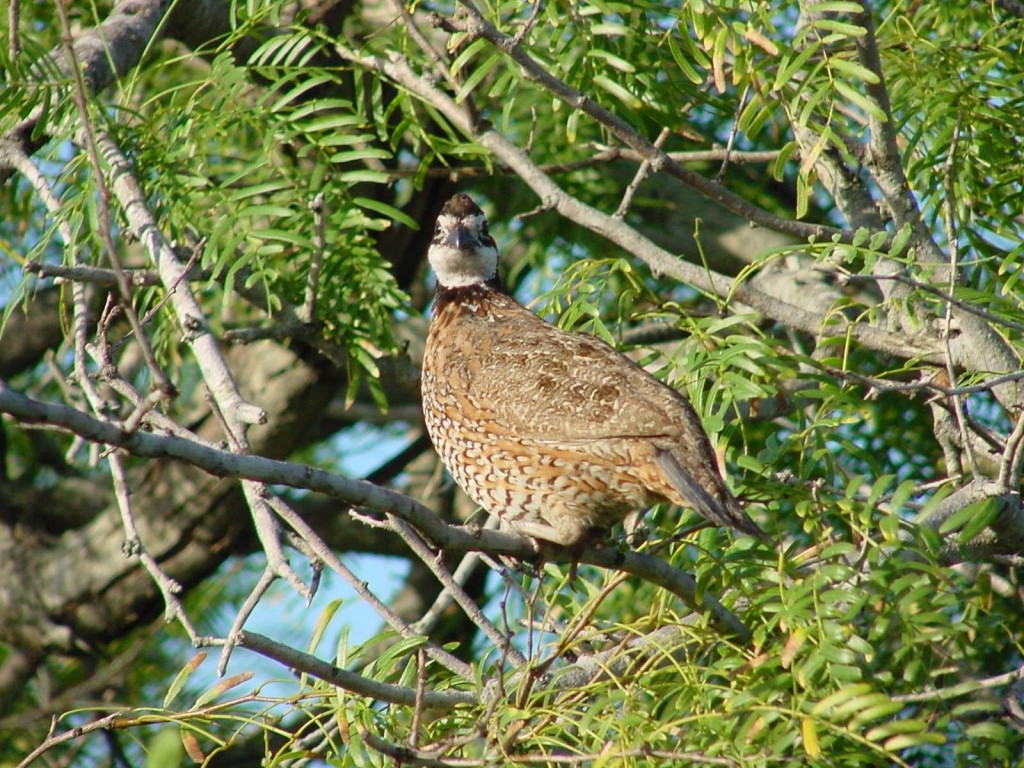 "The northern bobwhite quail has seen steep population declines in the last 40 years, leading scientists to favor a ""landscape-scale"" approach to conservation. Photo by Jason Hardin, Texas Parks & Wildlife"