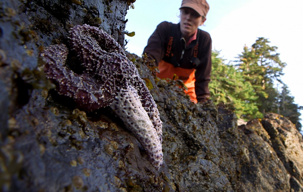 Near Sitka, Alaska, researcher Melissa Miner finds an ochre star with whitened diseased arms -- a symptom of sea star wasting disease. Photo by Greg Davis/KCTS9