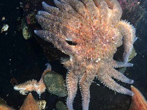 A sick sunflower star loses arms in Sitka Sound Science Center aquarium. Read more about the sea star epidemic. Photo courtesy of Taylor White
