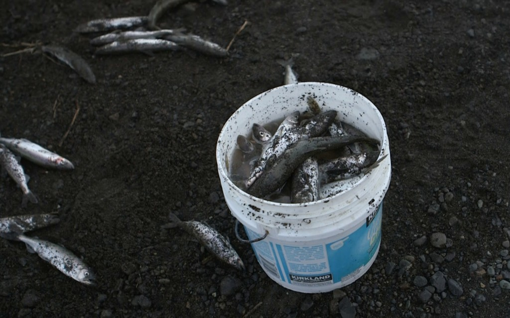 Smelt netted by William Johnson on Kanakanak Beach near Dillingham, Alaska. Photo by: Mike Fritz/PBS NewsHour