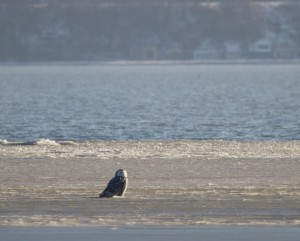 A snowy owl on the ice. Photo by Flickr user Steve Valasek.
