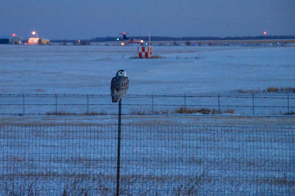 Snowy owls gravitate toward the wide open spaces of airports. A snowy owl closer to its normal Arctic habitat, Fort St. John Airport in northern British Columbia, Canada. Photo by Flickr user tuchodi.
