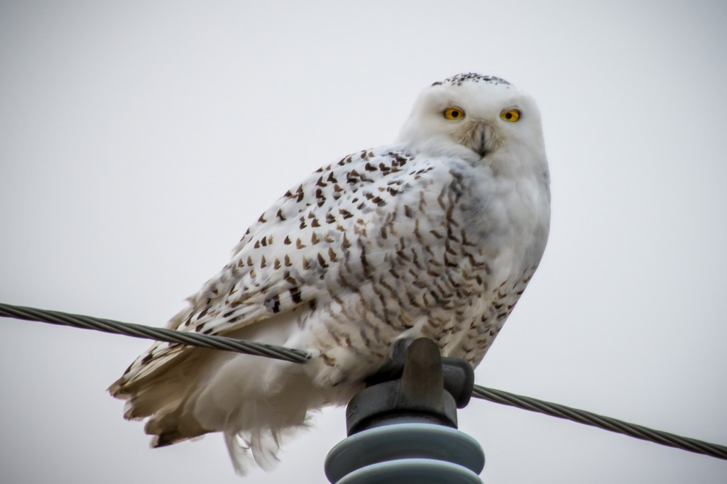 A snowy owl surveys photographer Conrad Kuiper from atop a telephone pole in Ontario. Photo by Flickr user Conrad Kuiper.