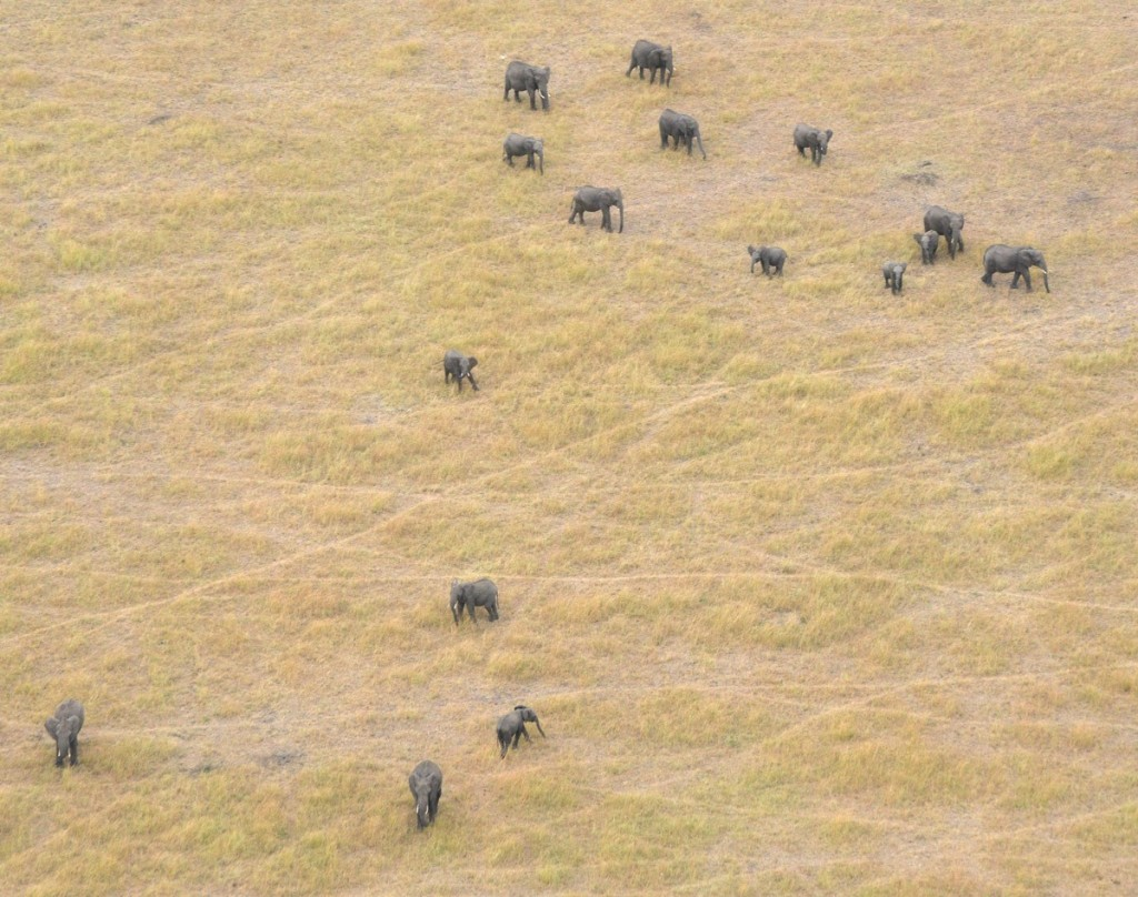 An Elephant herd the Great Elephant Census team counted during one flyover. Credit: Frankfurt Zoological Society