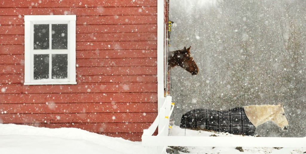 Horses in the light snow at a Newburgh farm.  Snow was falling for a good portion of the day Monday and acording to the National Weather Service the mild weather will continue with snow and rain on some of the next few days. Photo by Gabor Degre/Bangor Daily News