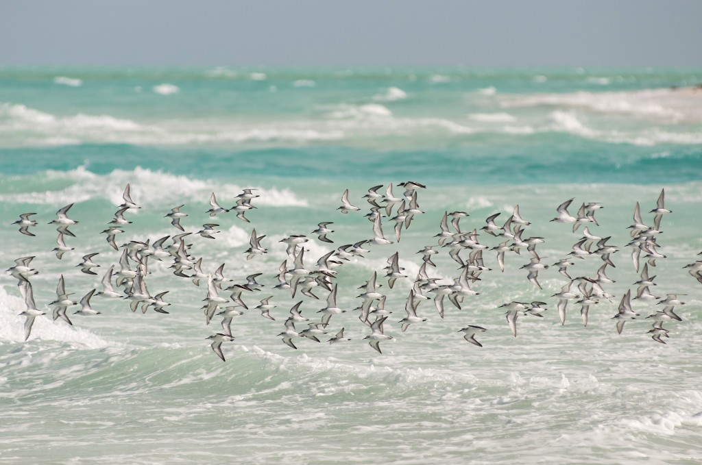 A flock of shorebirds near the Berry Islands in the Bahamas. The Bahamas are home to hundreds of species of native and migratory birds. Photo by Walker Golder/National Audubon Society