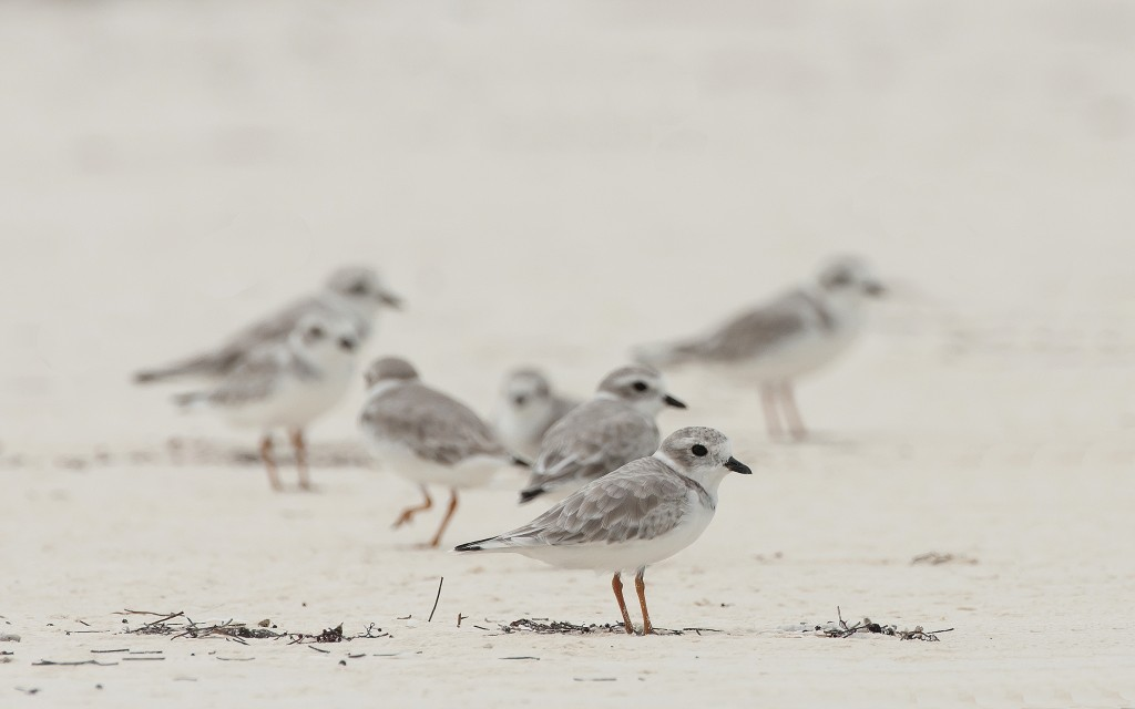 A flock of endangered piping plovers on the Joulter Cays in the Bahamas. Photo by Walker Golder/National Audubon Society