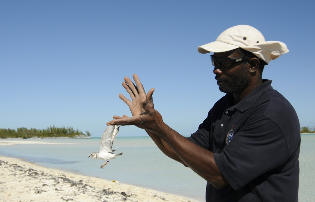 Bahamas National Trust Warden Steve Smith releases a piping plover after it has been banded by a team of scientists. Photo by Walker Golder/National Audubon Society