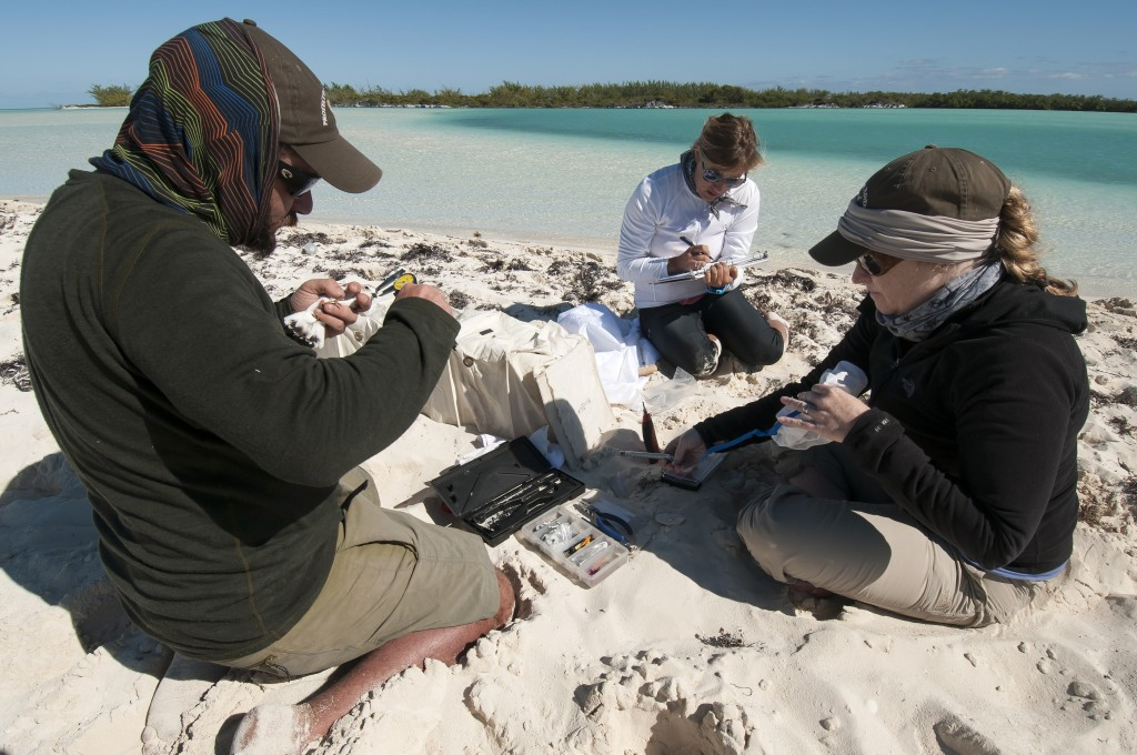 A team of scientists on a National Audubon Society-led research trip to the Joulter Cays take measurements of a captured piping plover. Photo by Walker Golder/National Audubon Society