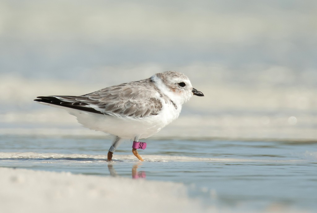 Photos: Scientists 'winter' in Bahamas to study endangered migratory bird
