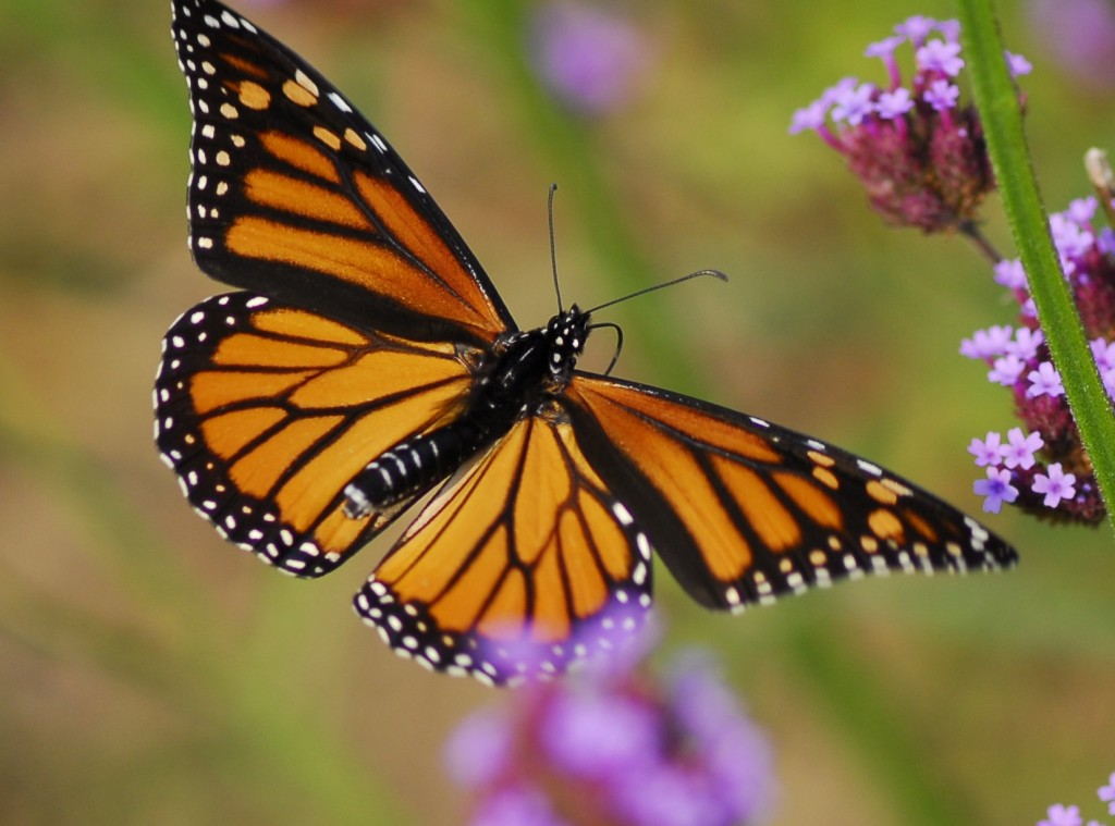 u s government pledges 3 2 million to save monarch butterfly pbs