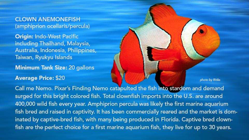 _Clown Anemonefish