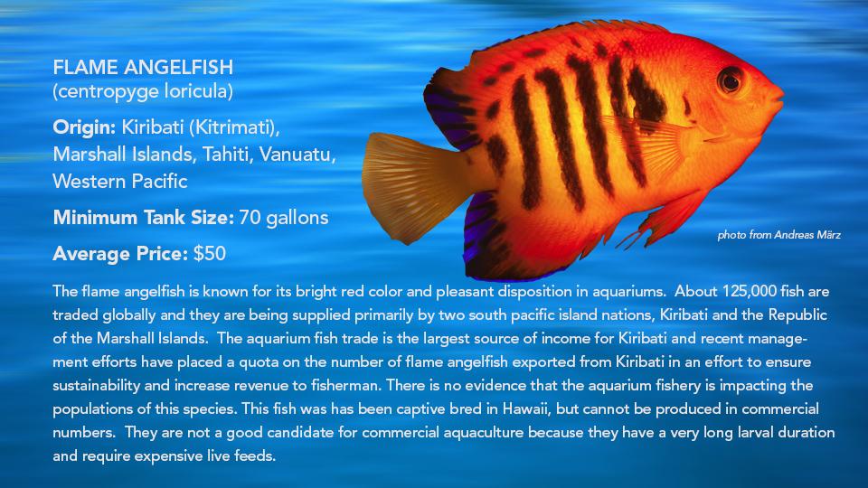 _Flame Angelfish