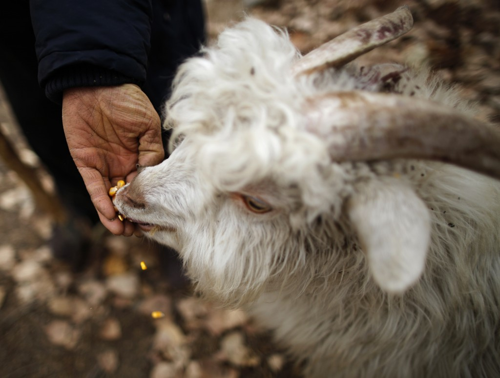 A herdsman feeds his goat with corn at Dashiwo village, on the outskirts of Beijing. The Chinese Lunar will welcome the Year of the Sheep (also known as the Year of the Goat or Ram). Photo by Kim Kyung-Hoon/Reuters
