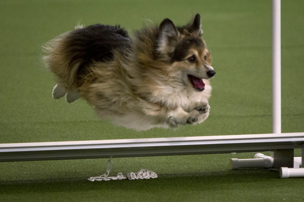 A dog competes during an agility event at the 139th Westminster Kennel Club's Annual Dog Show in the Manhattan borough of New York February 14, 2015.     REUTERS/Carlo Allegri   (UNITED STATES - Tags: SOCIETY ANIMALS) - RTR4PLG4