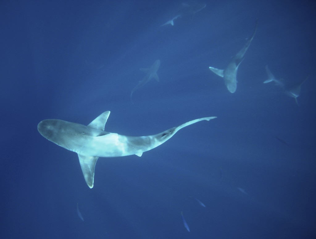Sandbar sharks swim around during a cageless shark dive tour in Haleiwa, Hawaii February 16, 2015. Photo by Hugh Gentry/Reuters