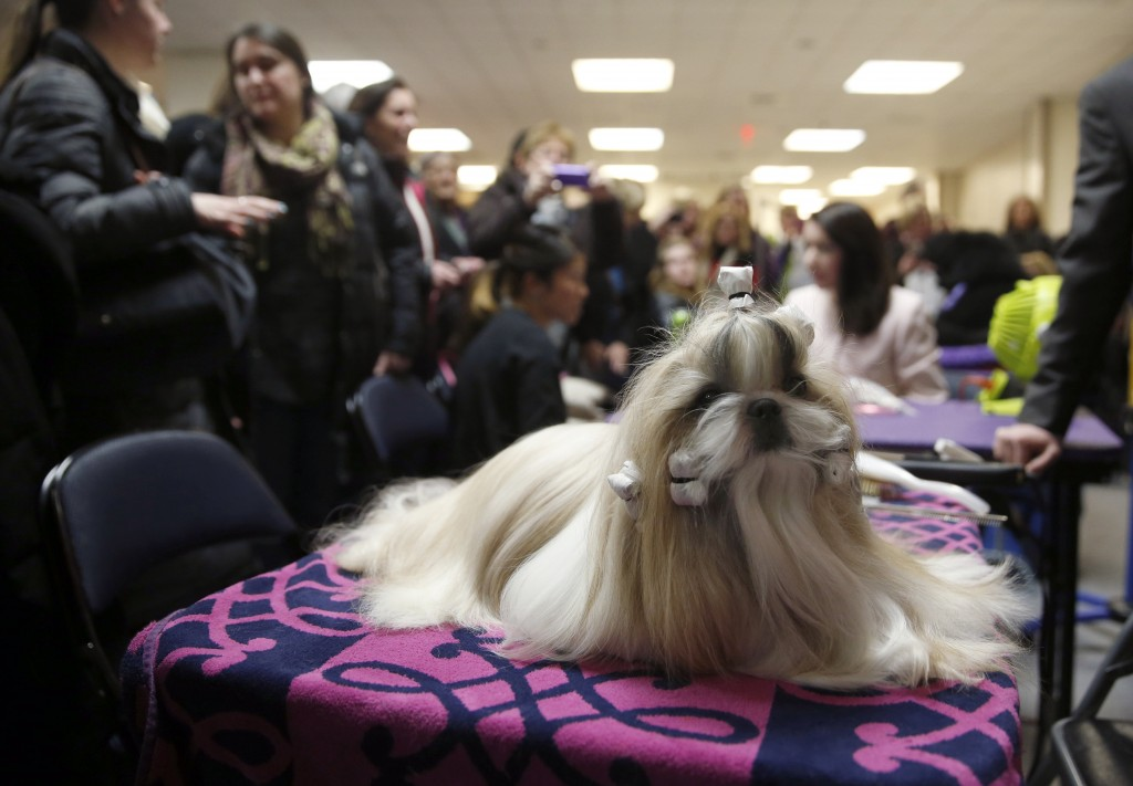 "Rocket, a Shih Tzu and winner of the Toy Group, sits before the ""best in show"" judging at the 2015 Westminster Kennel Club Dog Show in New York February 17, 2015.  REUTERS/Shannon Stapleton (UNITED STATES - Tags: ANIMALS SOCIETY) - RTR4Q097"