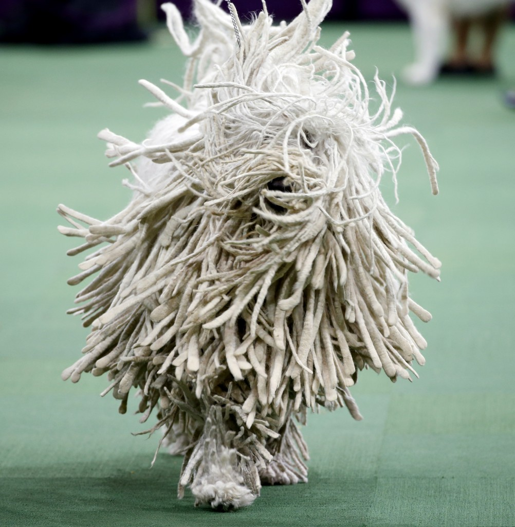 A Komondor runs during competition in the Working Group, at the139th Westminster Kennel Club Dog Show, at Madison Square Garden in the Manhattan borough of New York, February 17, 2015.  REUTERS/Mike Segar  (UNITED STATES - Tags: ANIMALS SOCIETY TPX IMAGES OF THE DAY) - RTR4Q0GM