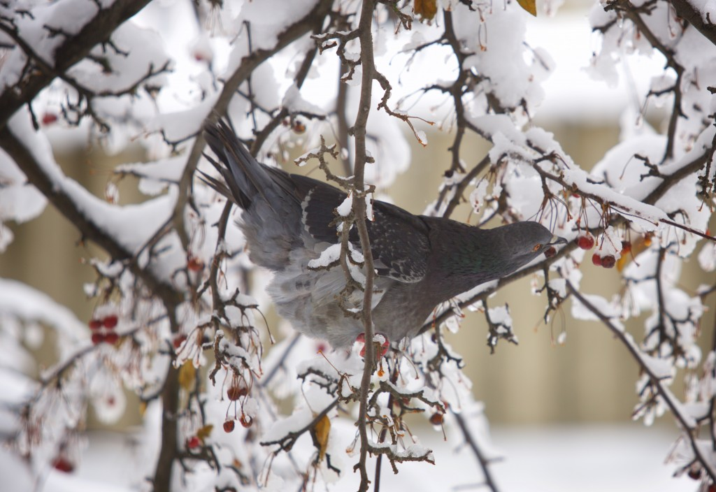 A pigeon eats berries in a snow covered tree on a November morning in Bangor. A storm brought several inches of snow to the central Maine on Thanksgiving Day. Photo by Brian Feulner/Bangor Daily News