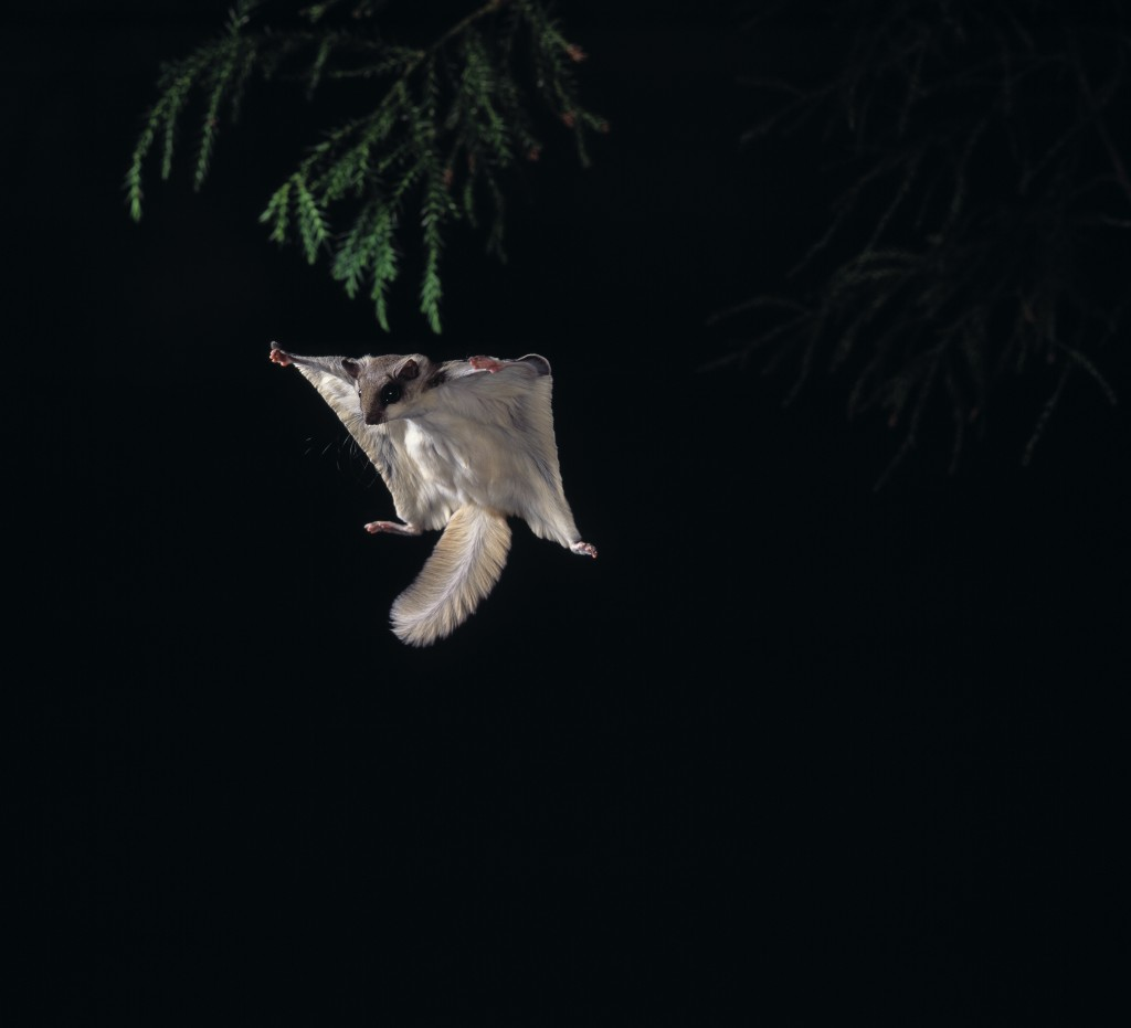 Northern Flying Squirrel (Glaucomys sabrinus) gliding