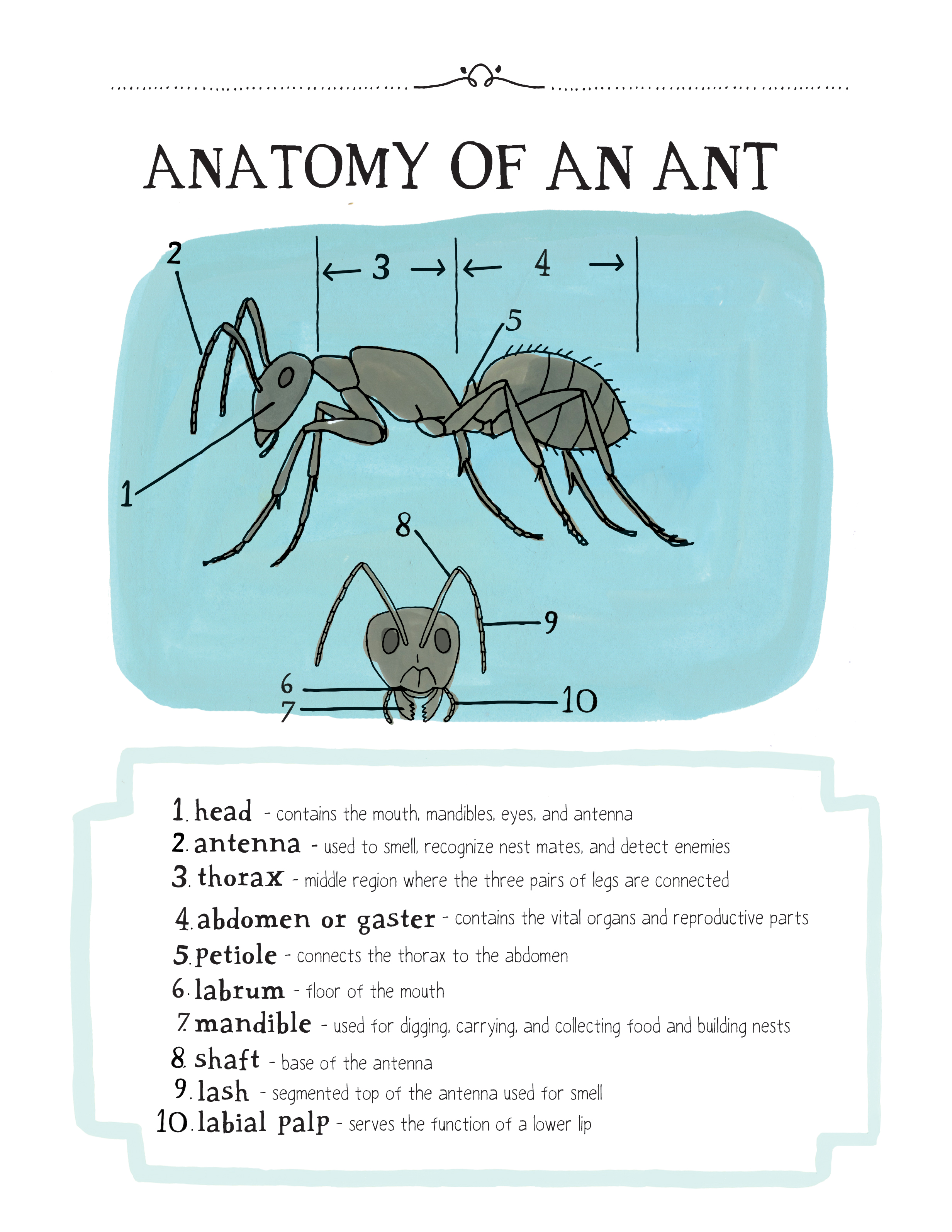 "An anatomy of an ant. Excerpted from ""Nature Anatomy"" by Julia Rothman. Used with permission of Storey Publishing"