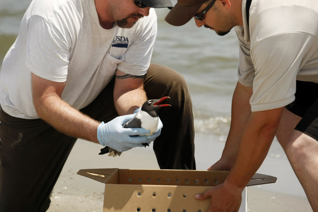 Laughing Gull in Distress U.S. Fish and Wildlife officer Raul Sanchez, right, and Jason Storlie of the USDA Wildlife Services, rescue a laughing gull in distress at the Breton National Wildlife Refuge. They will try to rehabilitate it as well as determine if its illness was due to the oil spill. May 20, 2010. (AP Photo/Gerald Herbert)