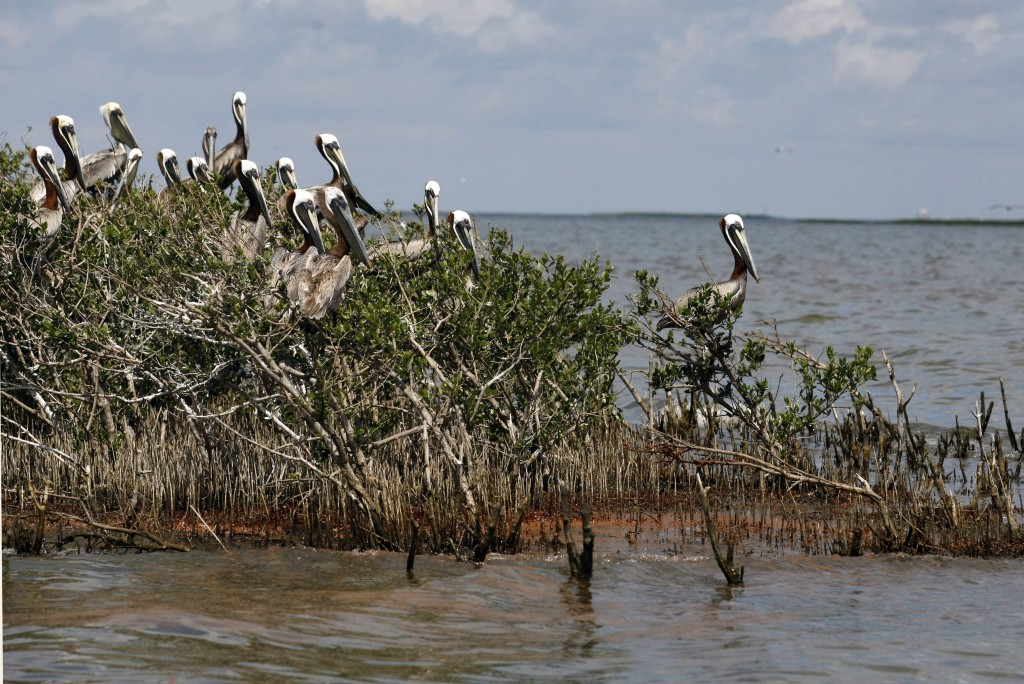 Barataria Bay Oil laps at an island in Barataria Bay, just off the coast of Louisiana, that is home to hundreds of brown pelican nests as well at terns, gulls and roseate spoonbills, May 22, 2010. (AP Photo/Gerald Herbert)