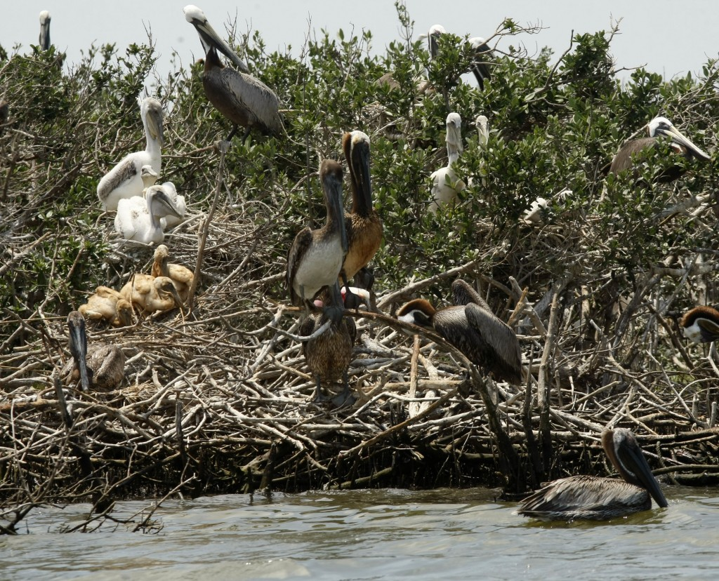 Pelicans Oil-stained pelicans stand on an island in Barataria Bay just off the the coast of Louisiana, May 23, 2010. (AP Photo/Gerald Herbert)