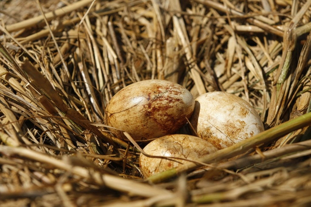 Oiled Eggs Pelican eggs that appear to be stained with oil sit in a nest on an island in Barataria Bay, May 22, 2010. (AP Photo/Gerald Herbert)