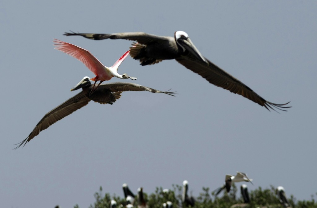 Pelicans and Roseate Spoonbill Pelicans and a roseate spoonbill fly over nesting birds on an island in Barataria Bay, May 23, 2010, in the path of the Deepwater Horizon oil spill. (AP Photo/Gerald Herbert)