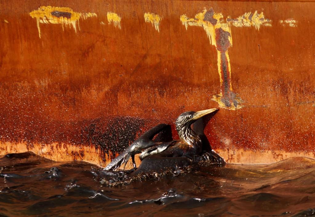 Close-up A close-up of the oil-soaked bird, May 9, 2010. (AP Photo/Gerald Herbert)