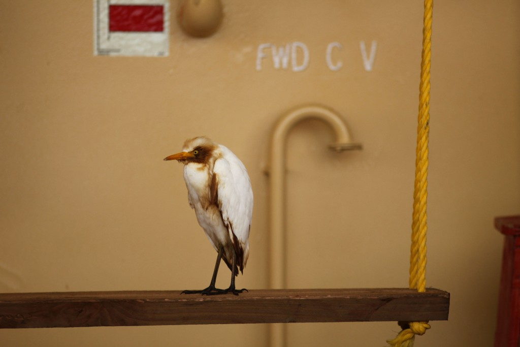 On Deck The oil-stained egret sits on a crew swing on the deck of the Joe Griffin, May 9, 2010. (AP Photo/Gerald Herbert)