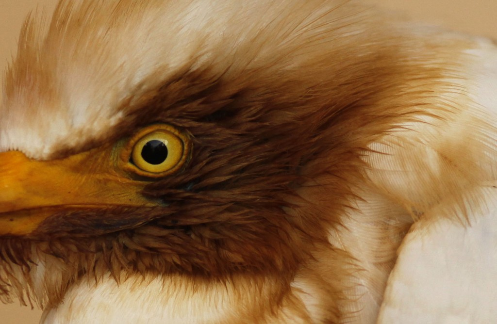 Close-up: Oiled Egret An oil-stained cattle egret on the deck of the supply vessel Joe Griffin, near the site of the Deepwater Horizon oil spill, May 9, 2010. (AP Photo/Gerald Herbert)