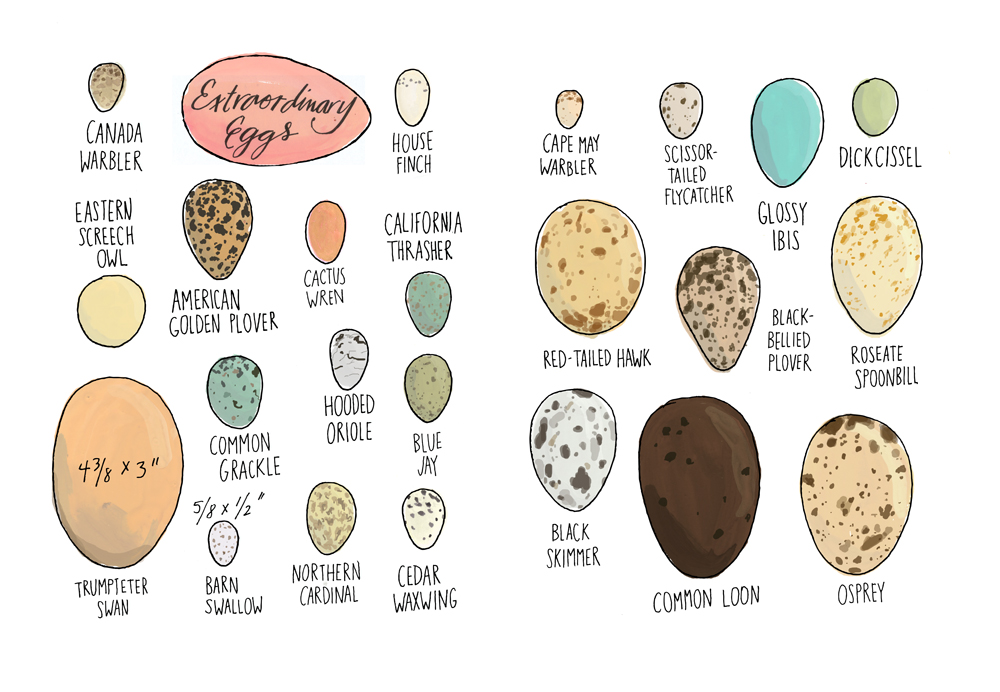"Rothman said she was particularly excited to tackle bird eggs among her first illustrations for the book. Excerpted from ""Nature Anatomy"" by Julia Rothman. Used with permission of Storey Publishing"