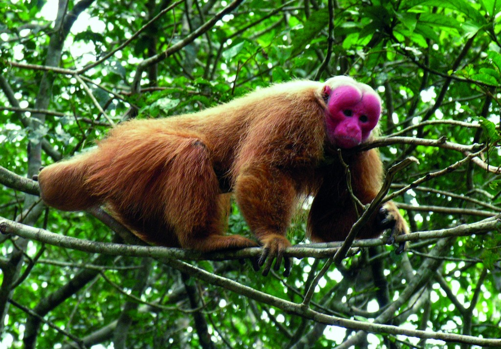 bald-headed uakari copyright Evgenia Kononova, Wikimedia Commons
