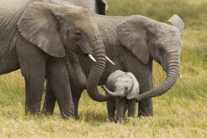 African elephants walk with their young on the Serengeti. Photo by Cathy Hart/Design Pics Perspectives and Getty Images